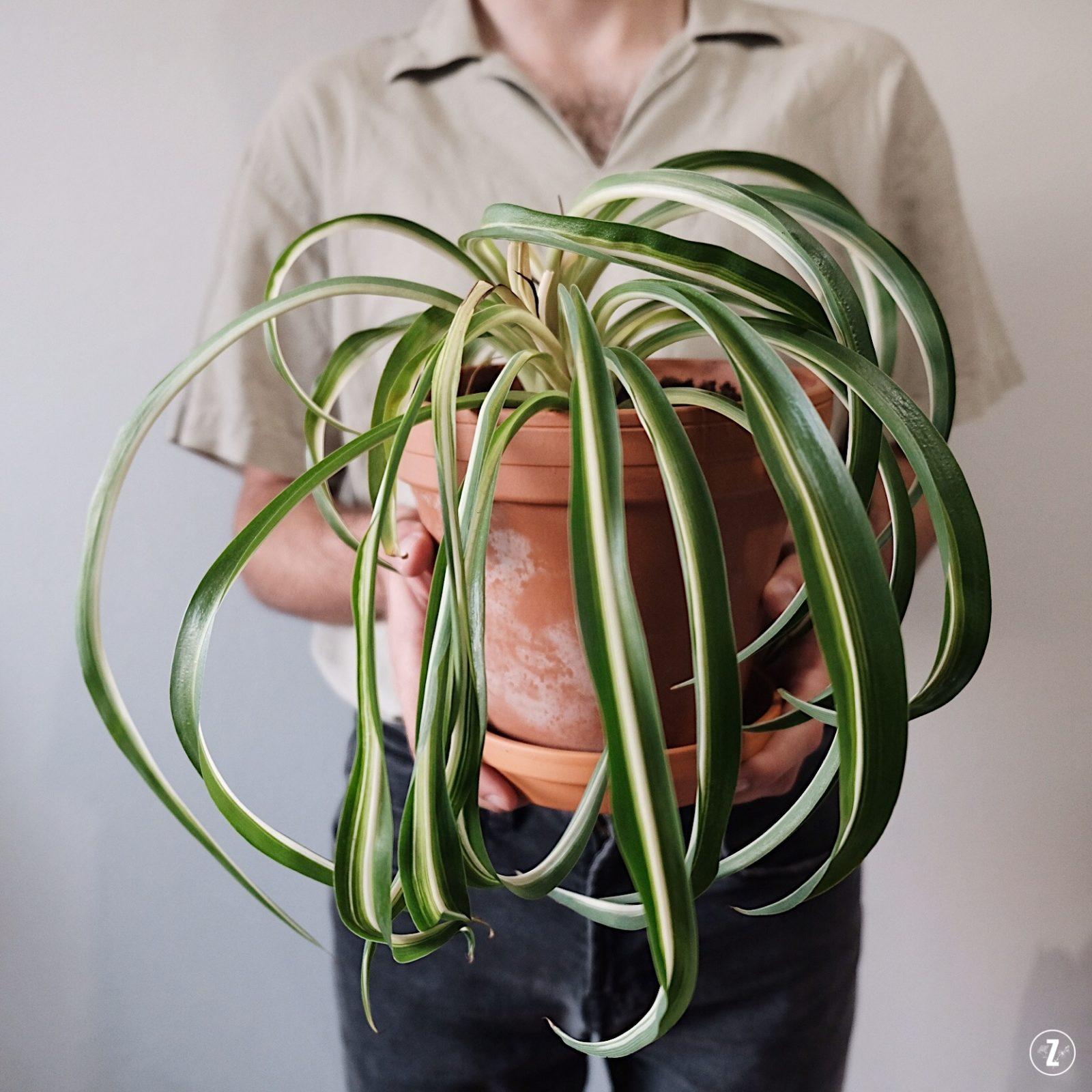 Chlorophytum comosum, adopcja roslin, PictureThis, pierwsza roślina, projekt rosliny, roslinne porady, zielistka sternberga