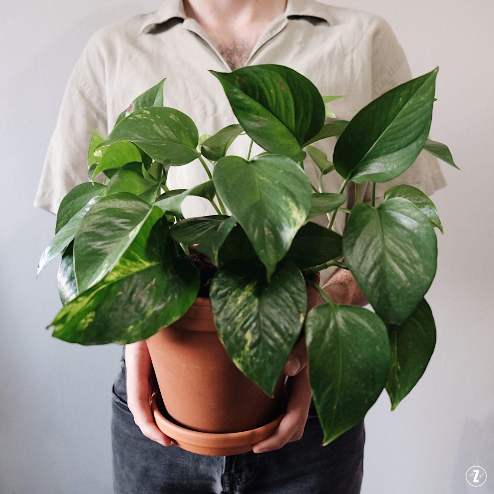 adopcja roslin, epipremnum zlociste, Epipremnum aureum, PictureThis, pierwsza roślina, projekt rosliny, roslinne porady