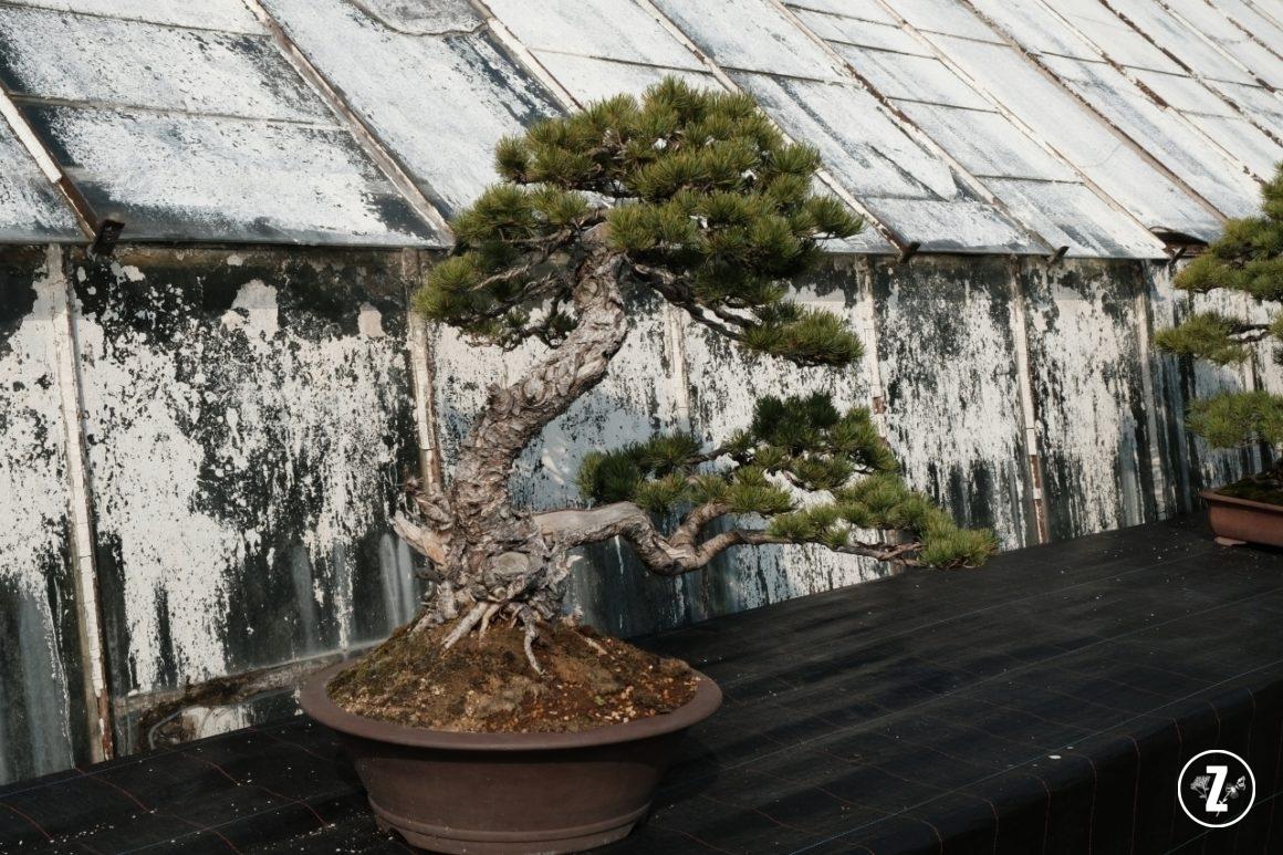 bonsai wPalmiarni, bonsai wPalmiarni Wałbrzyskiej