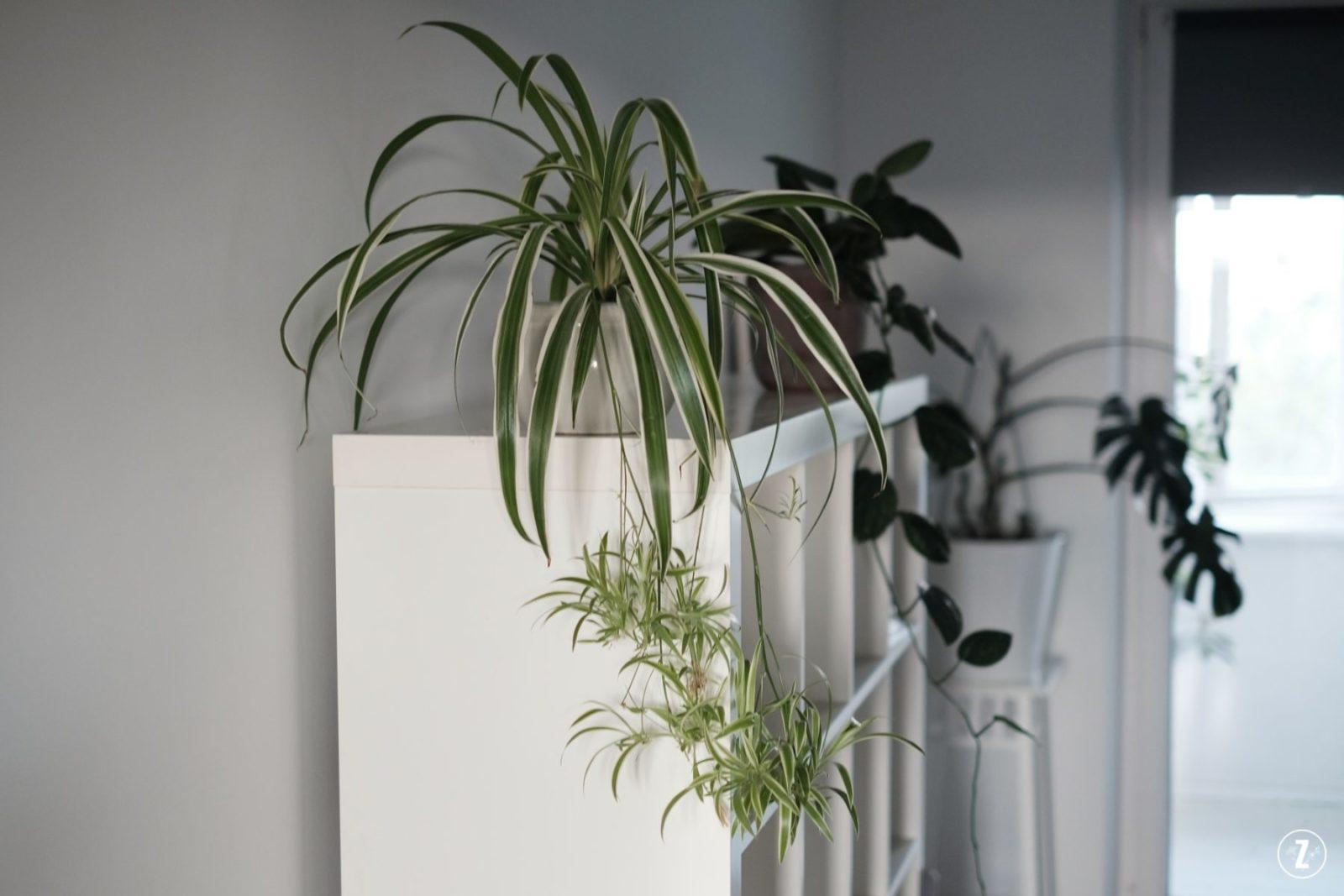 chlorophytum, comosum, roslina do biura, roslina do sypialni, roslina tropikalna, spider plant, zielistka, zielistka sternberga, zielony lisc