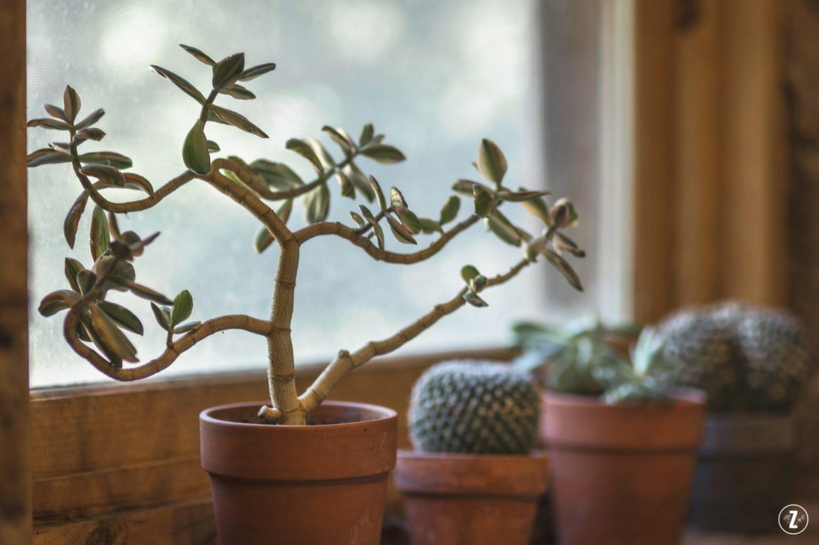 adopcja roslin, epipremnum zlociste, grubosz, nefrolepis, PictureThis, pierwsza roślina, projekt rosliny, roslinne porady, zielistka sternberga, zazieleni, blog