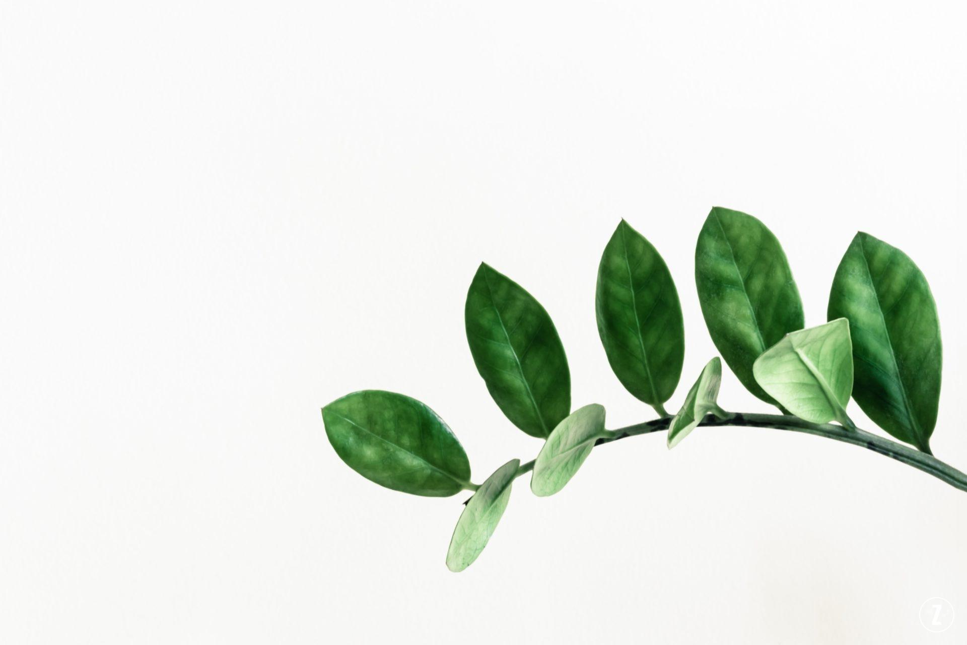 pielęgnacja, podzial klaczy, roslina do biura, roslina trujaca, roslinne porady, rozmnazanie, sadzonki lisciowe, szkodniki, zamioculcas zamiifolia, zamiokulkas zamiolistny, ZZ plant