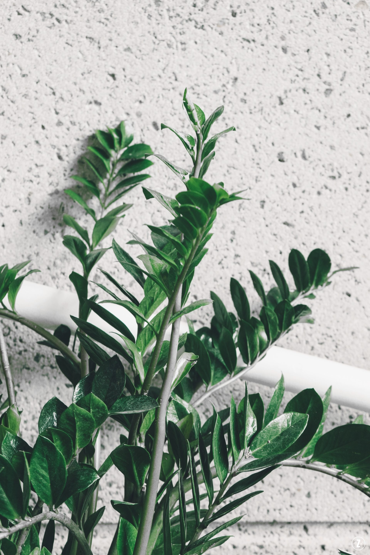 pielęgnacja, podzial klaczy, roslina dobiura, roslina trujaca, roslinne porady, rozmnazanie, sadzonki lisciowe, szkodniki, zamioculcas zamiifolia, zamiokulkas zamiolistny, ZZ plant