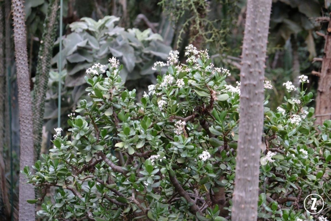 kwitnący grubosz, kwitnące drzewko szczęścia