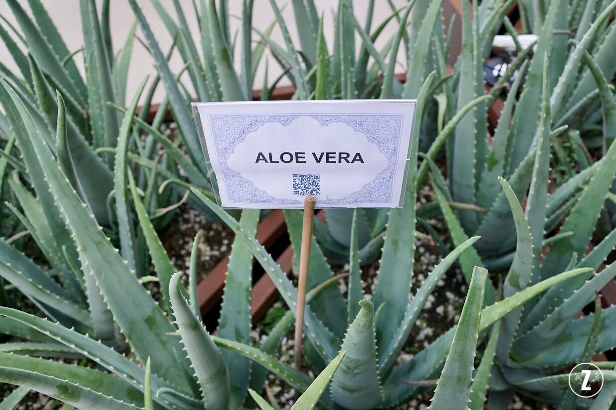aloes zwyczajny, aloe vera, tabliczka aloe vera, top aloes zwyczajny, blog, aloes zwyczajny jest całkiem nadzwyczajny