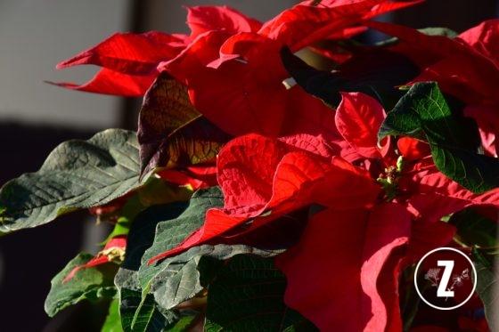 Euphorbiaceae, Gwiazda betlejemska, pielęgnacja roślin, Poinsecja, Poinsecja nadobna, roślina doniczkowa, roślina trująca, rozmnażanie roślin, szkodniki, wilczomlecz, Wilczomlecz nadobny, Wilczomlecz piękny