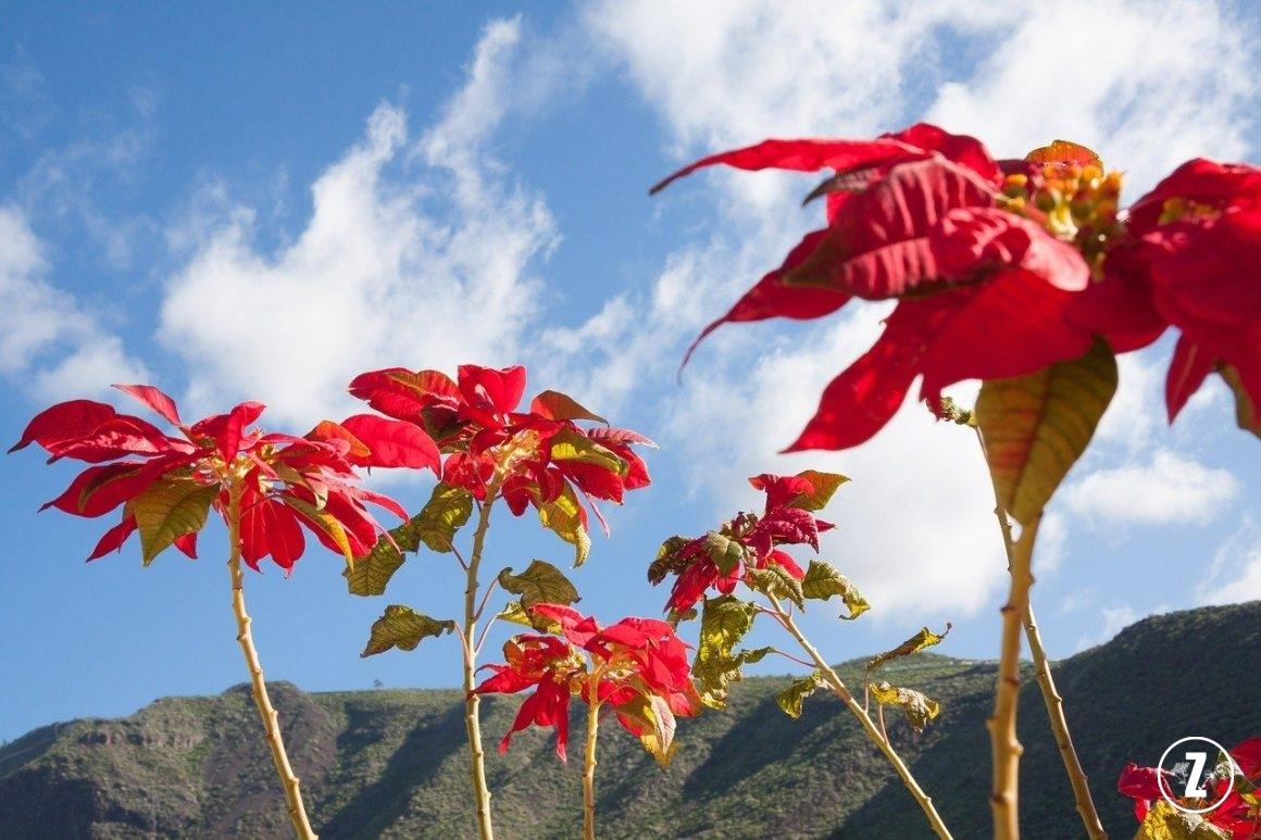 Euphorbiaceae, Gwiazda betlejemska, pielęgnacja roślin, Poinsecja, Poinsecja nadobna, roślina doniczkowa, roślina trująca, rozmnażanie roślin, szkodniki, wilczomlecz, Wilczomlecz nadobny, Wilczomlecz piękny, Gwiazda betlejemska wnaturalnych warunkach