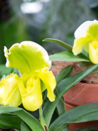 Storczyk Pafiopedilum, sabotek (Paphiopedilum)