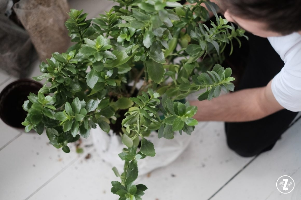 przesadzanie kwitnącego sukulenta (Kalanchoe blossfeldiana)