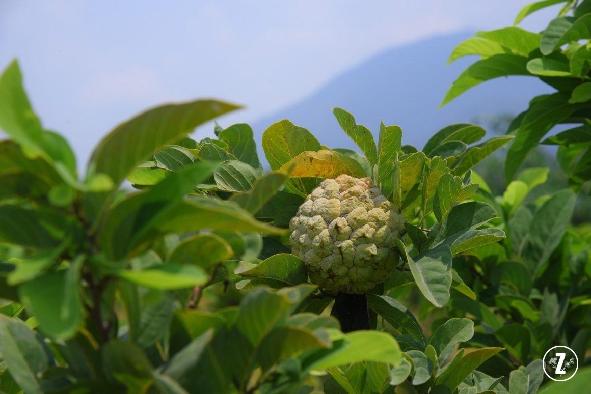 flaszowiec peruwiański (Annona cherimola)