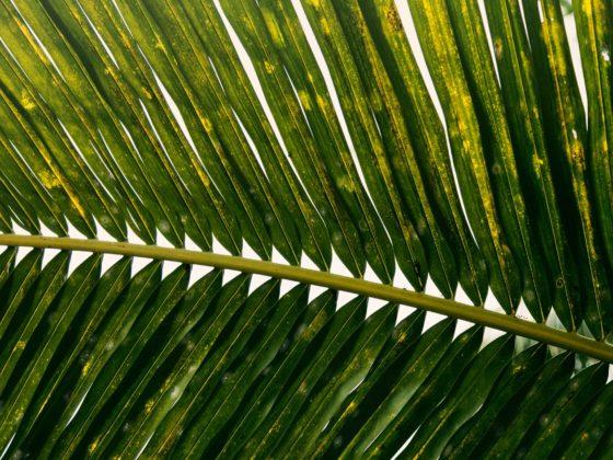 Wciornastki, szkodniki roślin domowych, jak rozpoznać i jak zwalczyć
