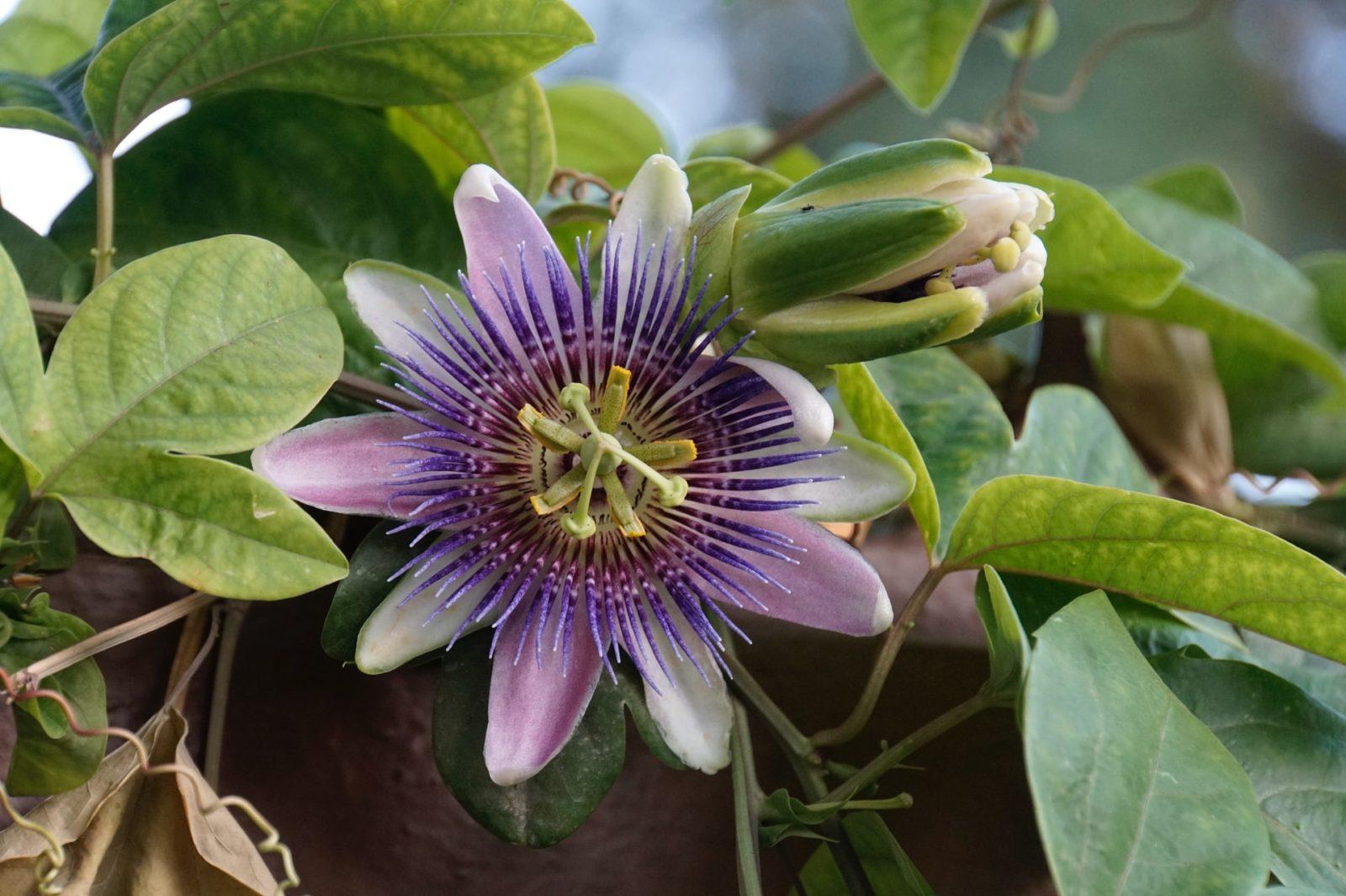 Męczennica cielista (Passiflora incarnata)