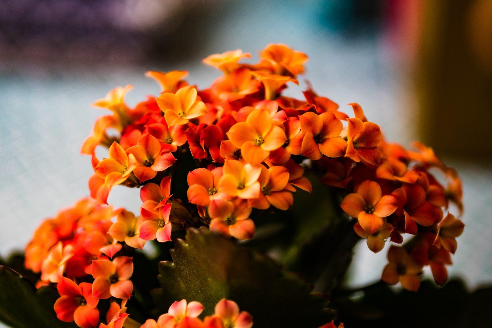 Kalanachoe, Kalanchoe blossfeldiana