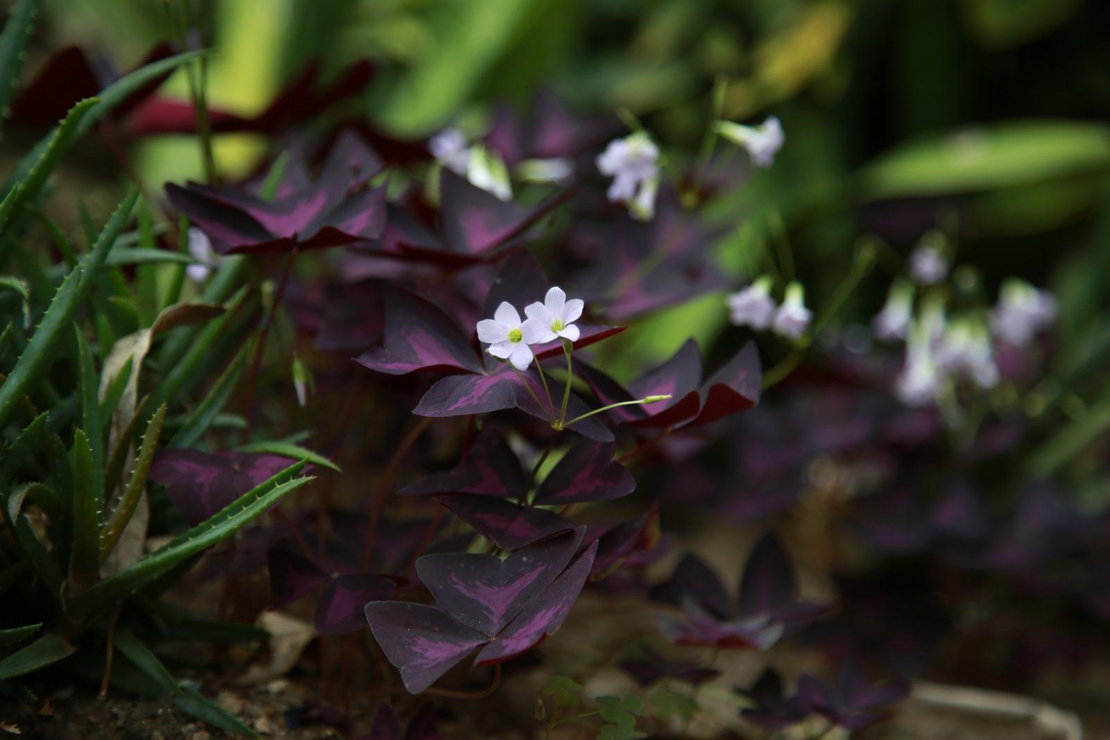 Szczawik trójkątny (Oxalis triangularis), fioletowa koniczynka szczęścia do domu, ogrodu lub na balkon