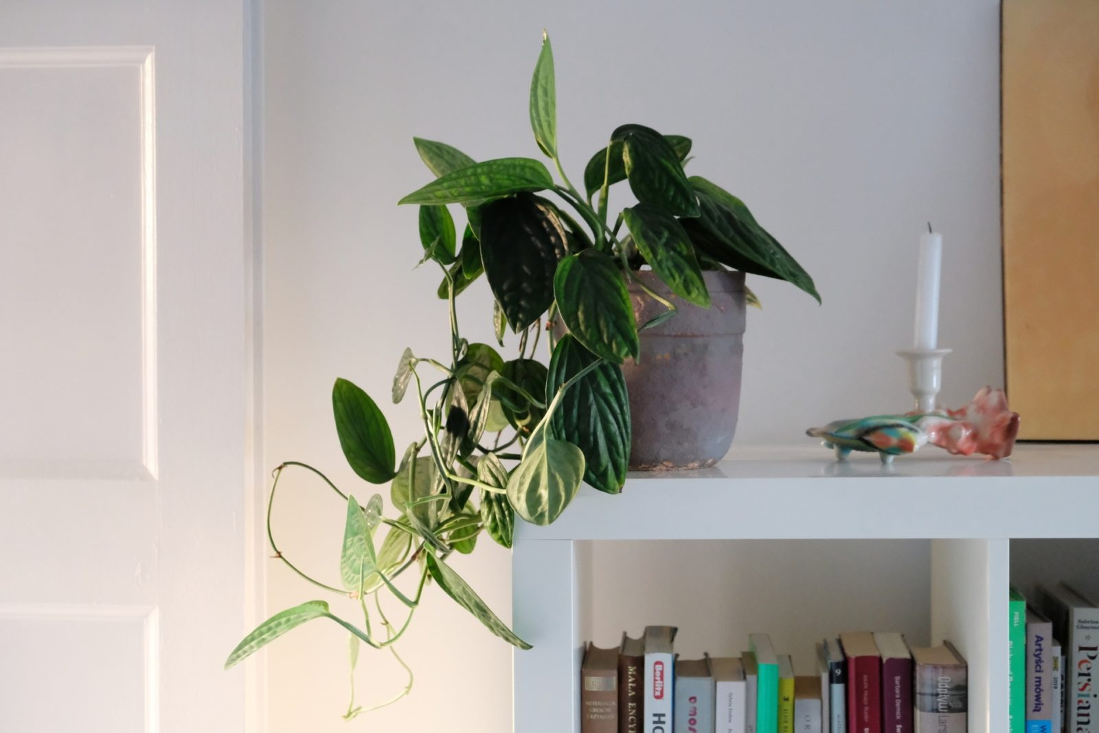 Philodendron opacum, Monstera karstenianum, Monstera sp. Peru