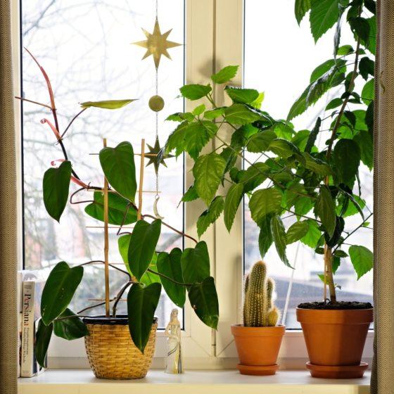 filodendron czerwieniejący, rośliny doniczkowe, rośliny naparapecie