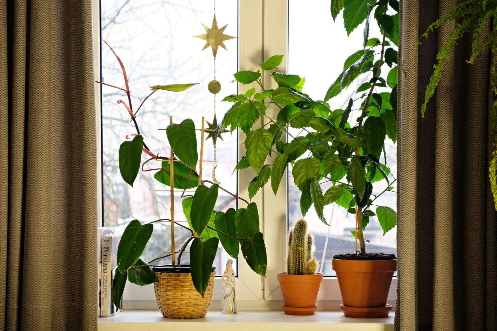 filodendron czerwieniejący, rośliny doniczkowe, rośliny na parapecie