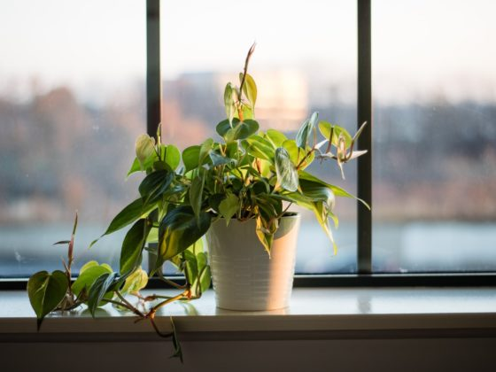 filodendron pnący jak uprawiać, łatwe w uprawie pnącze