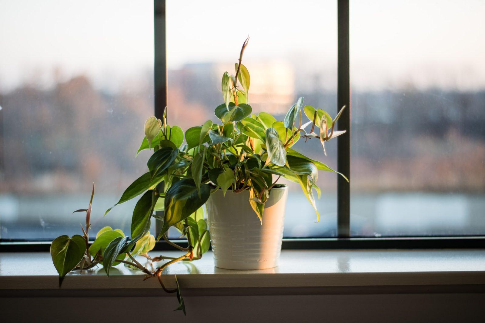 filodendron pnący jak uprawiać, łatwe wuprawie pnącze