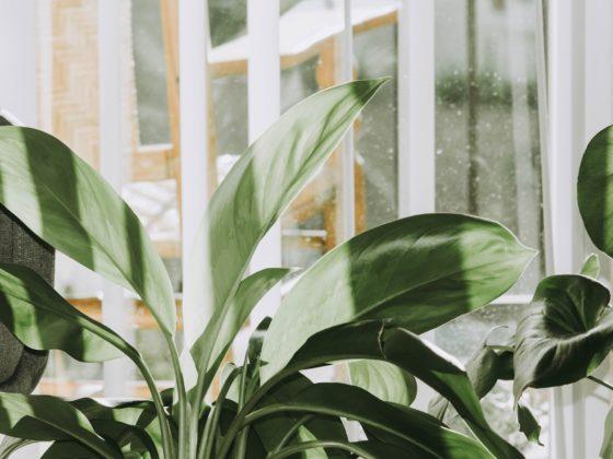 kupowanie roślin doniczkowych zimą, jak zabezpieczyć rośliny w transporcie