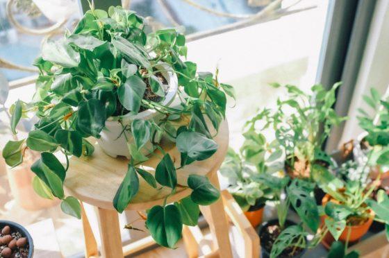parapet wschodni, kwiaty na parapet wschodni, rośliny na okno wschodnie