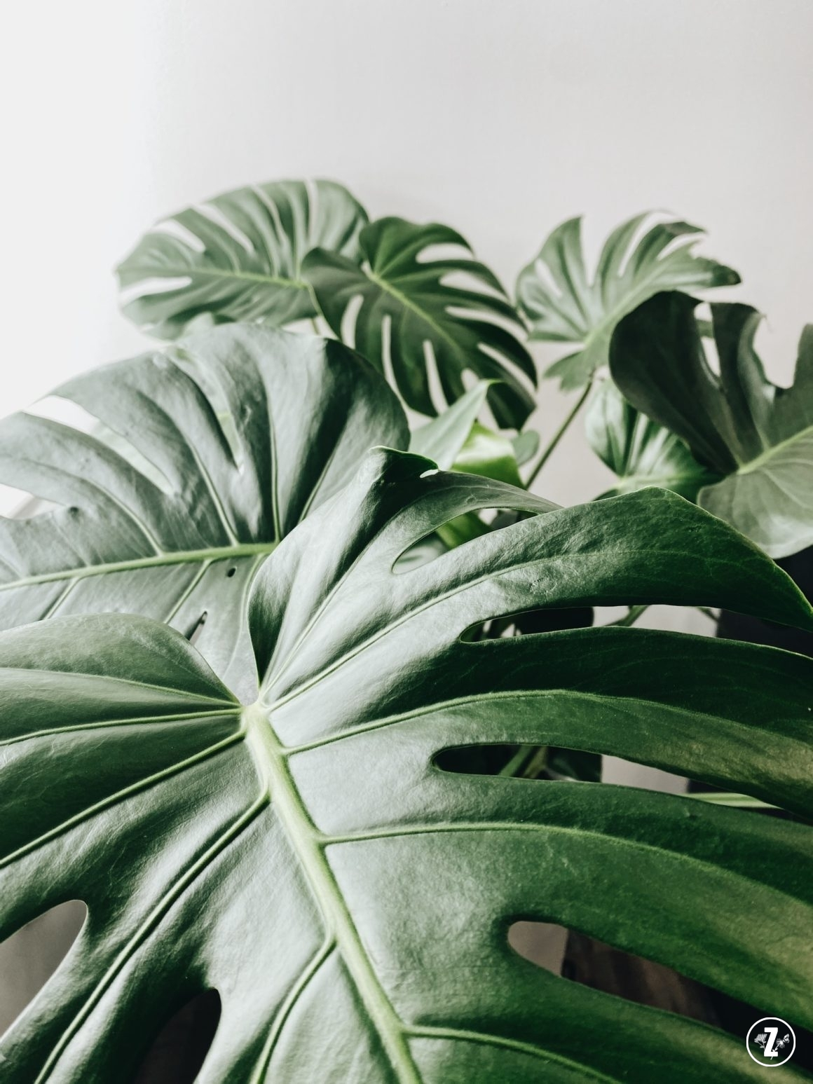 Monstera dziurawa, monstera deliciosa