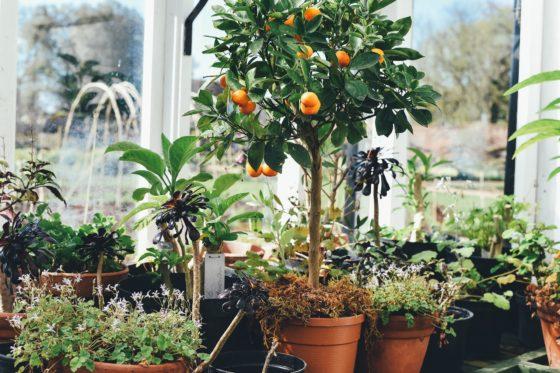 rośliny doniczkowe wiosną, wiosenne prace w domowej dżungli