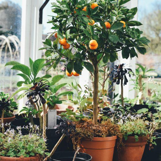 rośliny doniczkowe wiosną, wiosenne prace wdomowej dżungli