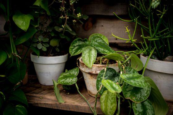 scindapsus pstry, roślina doniczkowa, pnącze do domu, zwisająca roślina