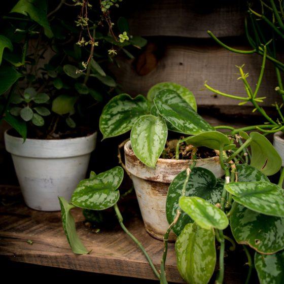 scindapsus pstry, roślina doniczkowa, pnącze dodomu, zwisająca roślina